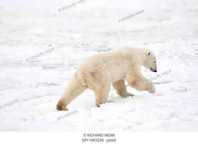 Polar Bear Ursus Maritimus On The Move Exploring The Land, Churchill, Manitoba, Canada