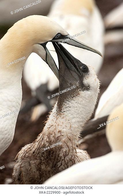 Northern gannet (Sula bassana), Canada, feeding young