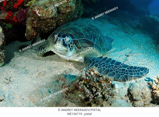 green sea turtle (Chelonia mydas) Sleeping next to a coral reef, Red sea, Marsa Alam, Abu Dabab, Egypt