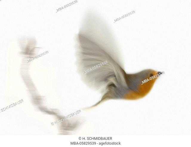 Redbreasts, Erithacus rubecula, in the flight, soft