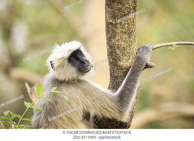 Gray Langur (Semnopithecus hector), head portrait. Corbett National Park. Uttarakhand. India