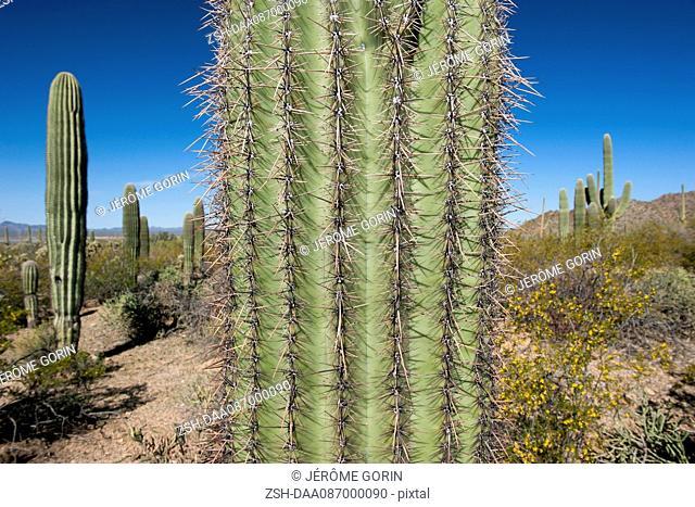 Close-up of cactus in Saguaro National Park, Arizona, USA