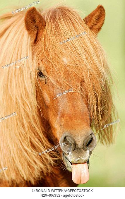 Icelandic horse. Germany