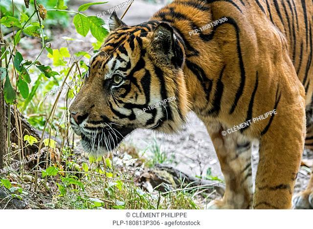 Sumatran tiger / Sunda Island tiger (Panthera tigris sondaica / Panthera tigris sumatrae) native to Sumatra, Indonesia