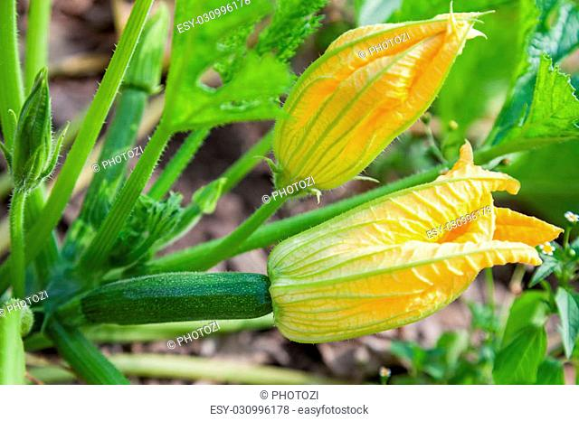 Male and female flowers of zucchini close-up