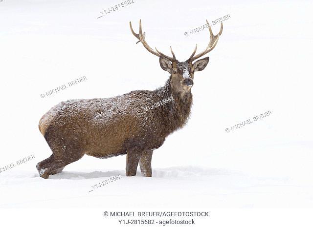 Red deer in Winter, Cervus elaphus, Bavaria, Germany, Europe