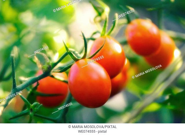 Red Cherry Tomatoes. Solanum lycopersicon. August 2007, Maryland, USA