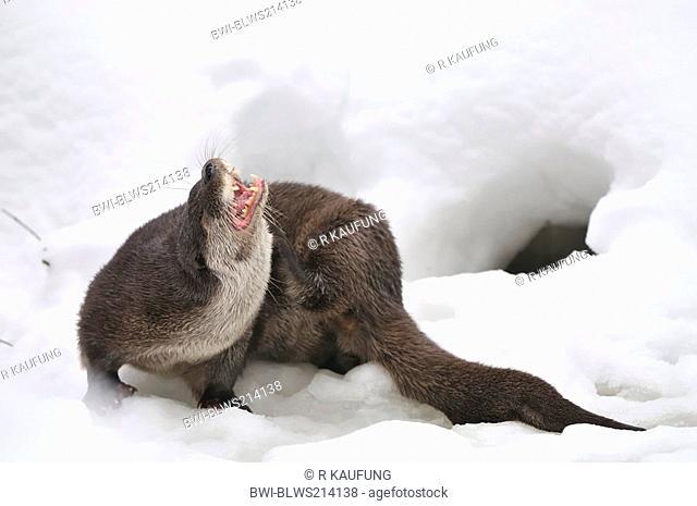 European river otter, European Otter, Eurasian Otter Lutra lutra, at entrance of burrow in winter, Germany