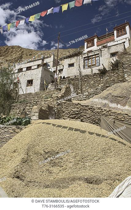Barley harvest in Hinju village, Ladakh, India