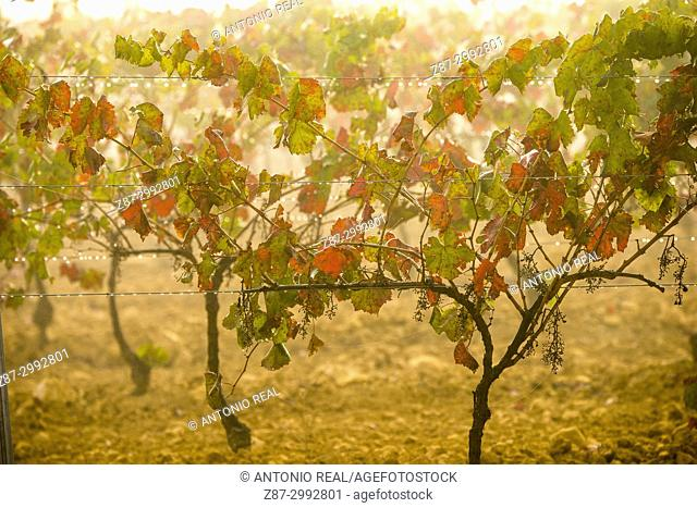 Vineyards in autumn. Almansa. Albacete province. Spain