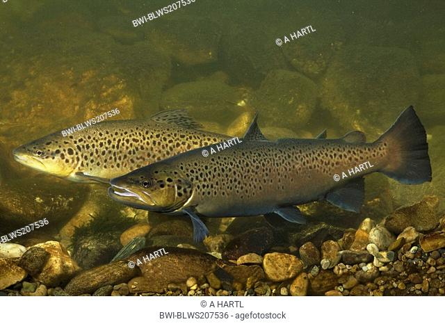 lake trout Salmo trutta lacustris, male and female with nuptial colouration, 60 cm, Germany, Bavaria