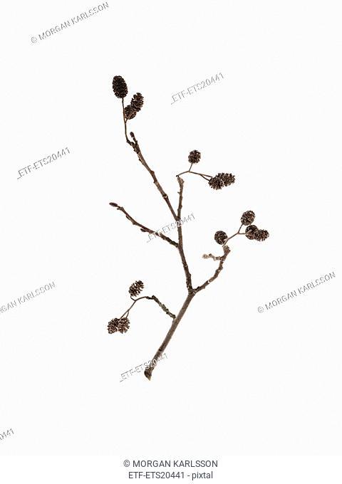 Branch against white background