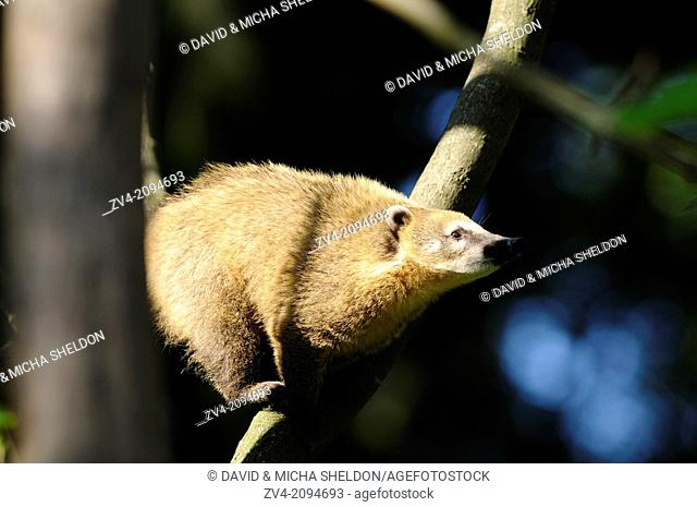 Close-up of a White-nosed coati (Nasua narica) standing on a branch