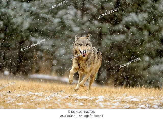 Gray wolf (Canis lupus) Captive pack running in late autumn mountain habitat, Bozeman, Montana, USA