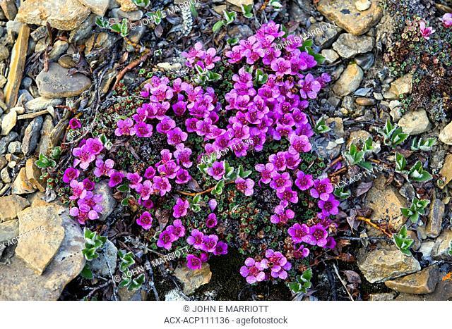 Purple saxifrage, Somerset Island, Nunavut, Canada