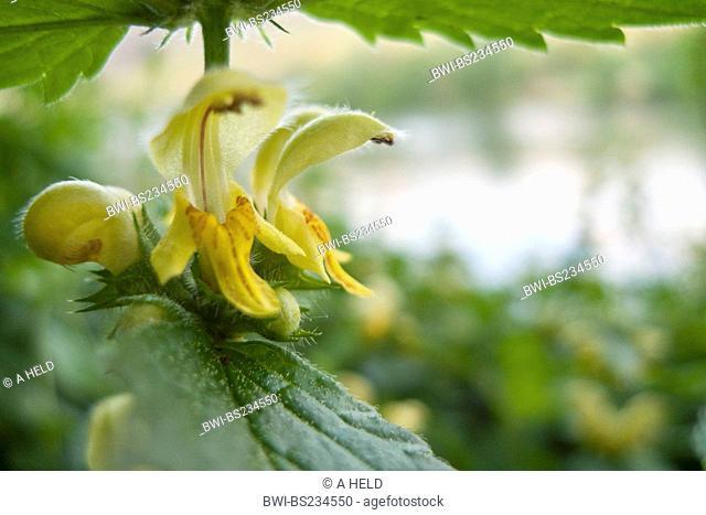 yellow dead-nettle Lamium galeobdolon, whorl of flowers, Germany, Baden-Wuerttemberg