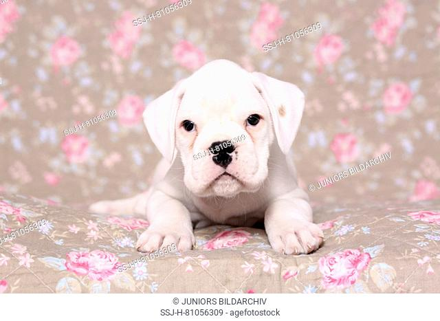 German Boxer. Puppy (6 weeks old) lying. Studio picture seen against a floral design wallpaper
