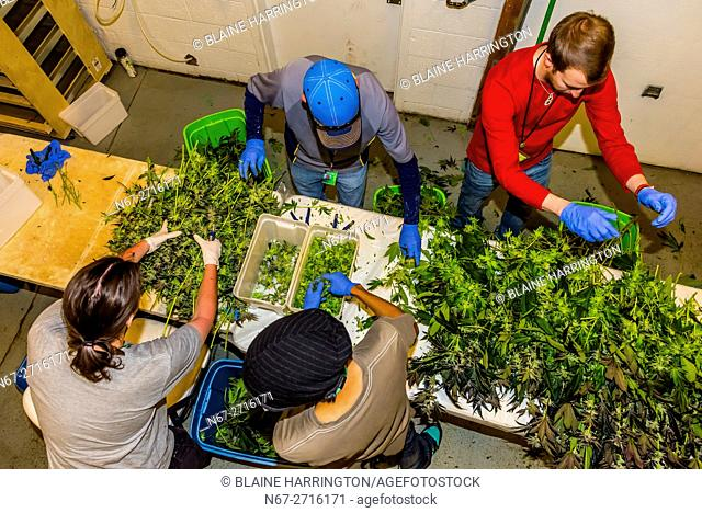 After pot is harvested, the flower is cut from the plant in the trim room, Sticky Buds, Denver, Colorado USA
