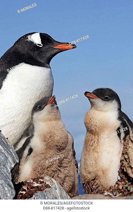 Gentoo Penguin(Pygoscelis papua papua), adult and chicks. Ronge Island, Antarctica
