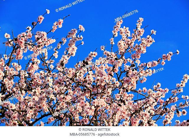 blossoming almond tree, Prunus dulcis, blossoming, Rhinland Palatinate, Gimmeldingen, Germany, spring, blossoming, 'Südliche Weinstrasse'
