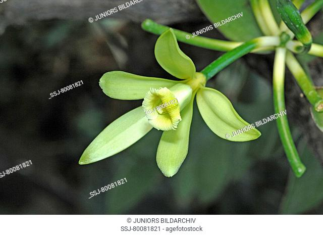 DEU, 2007: Vanilla (Vanilla planifolia), flower