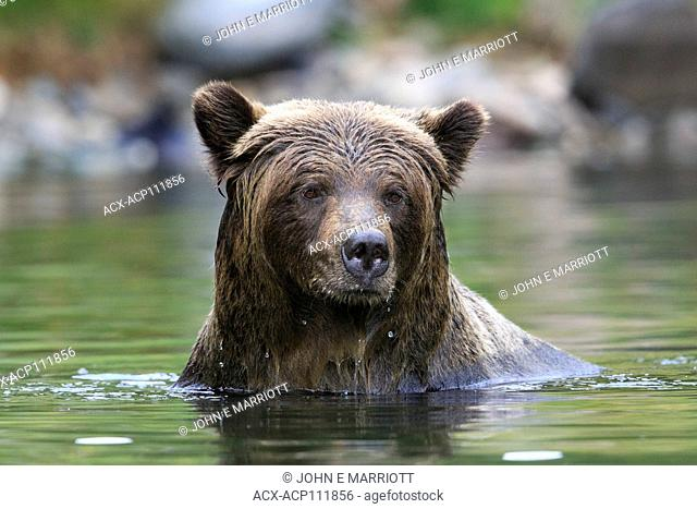 Grizzly bear, Ursus arctos
