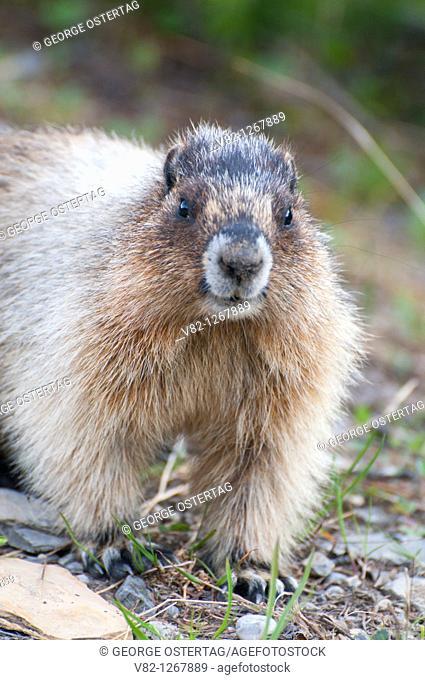 Marmot, Yoho National Park, British Columbia, Canada