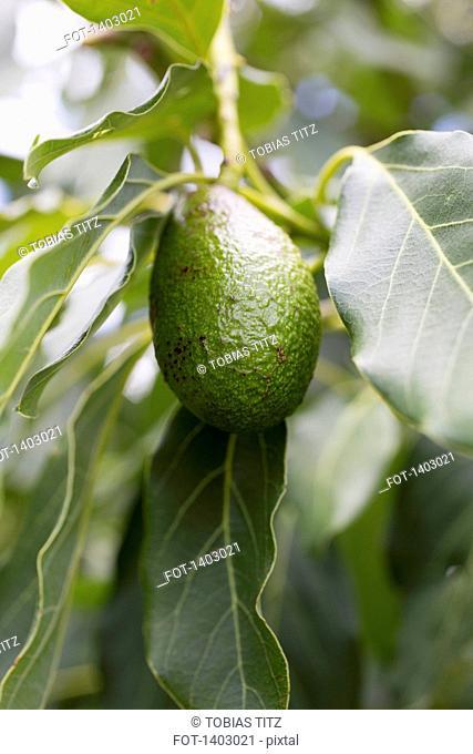 Avocado hanging from tree