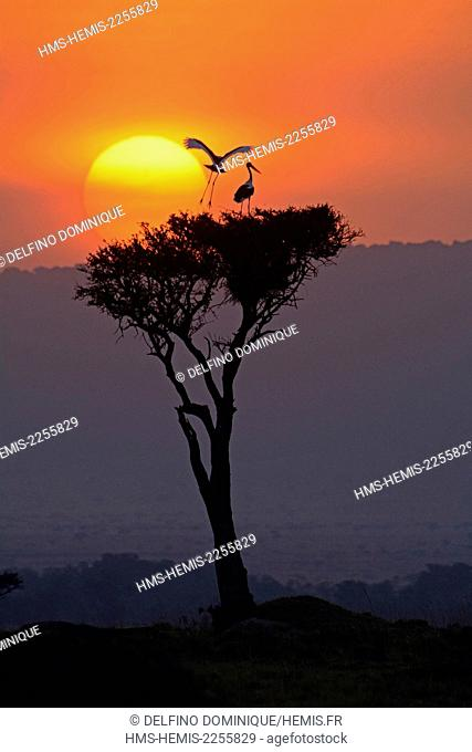 Kenya, Masai Mara Reserve, Saddle-billed Stork (Ephippiorhynchus senegalensis) on the nest built in a tree at sunset