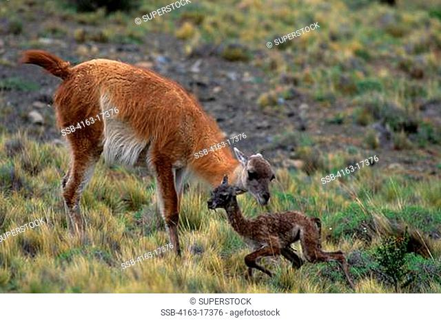 CHILE, TORRES DEL PAINE NAT'L PARK, GUANACOS, MOTHER W/NEWBORN, FIRST STEPS 30 MIN. AFTER BIRTH