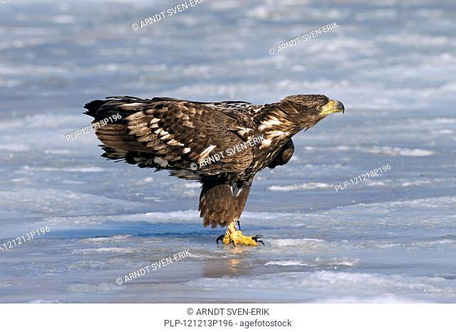 Ringed White-tailed sea eagle Haliaeetus albicilla juvenile on ice of frozen lake in winter