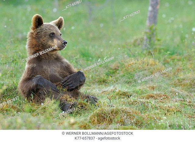 Brown Bear (Ursus arctos), cub. Finland