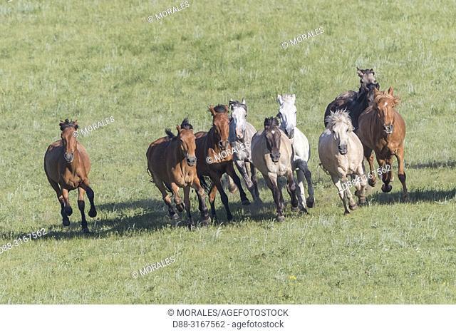 China, Inner Mongolia, Hebei Province, Zhangjiakou, Bashang Grassland, horses running in a group in the meadow