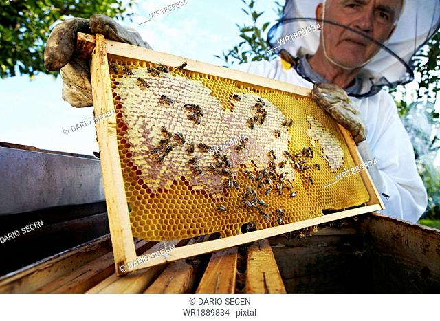 Beekeeper Holding Honeycomb In Garden, Croatia, Europe