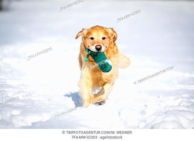 running Golden Retriever