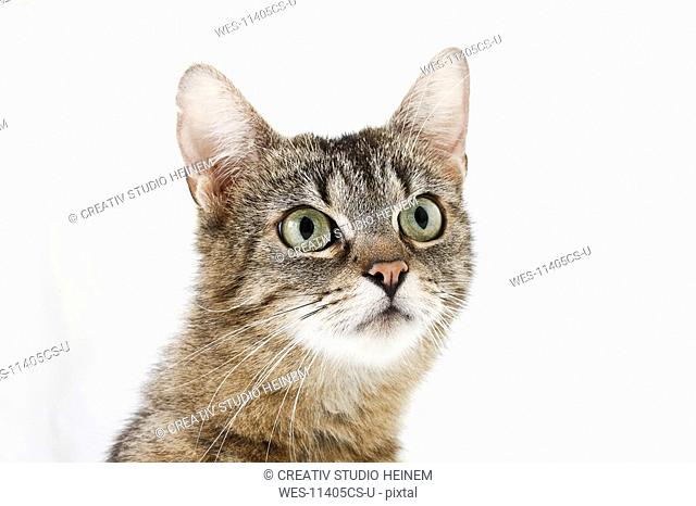 Domestic cat, portrait of a kitten, close-up