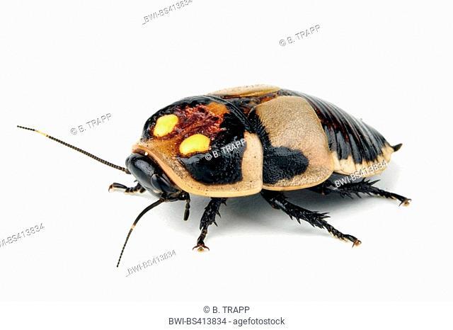 Glowspot cockroache (Lucihormetica subcincta), cut-out