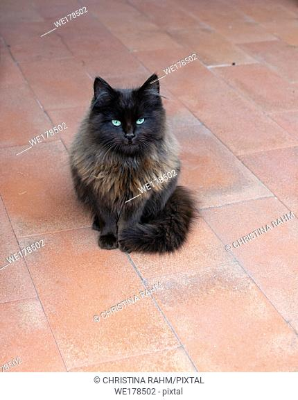 Beautiful dark brown fluffy cat with emerald green eyes on red terracotta floor looks into camera