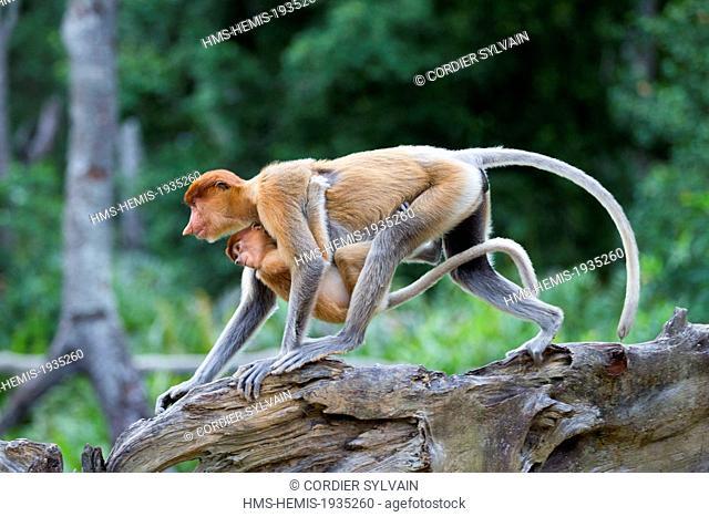 Malaysia, Sabah state, Labuk Bay, Proboscis monkey or long-nosed monkey (Nasalis larvatus), adult female and baby