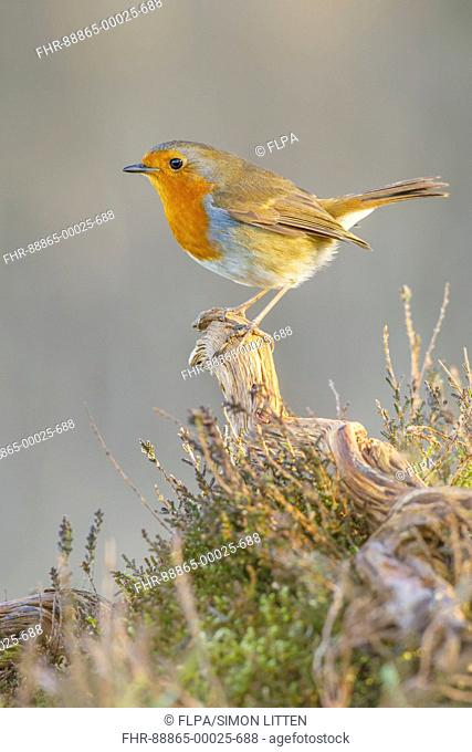 European Robin (Erithacus rubecula) adult,perched on fallen branch, heathland, South Norfolk, UK. March