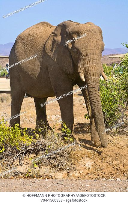 A single african elephant (Loxodonta africana) in the Damaraland, Namibia, Africa