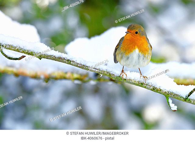 European Robin (Erithacus rubecula), sitting on snowy branch, Switzerland