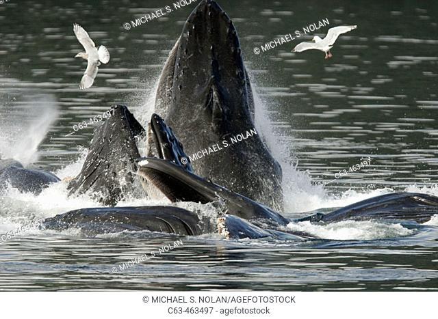 Adult humpback whales (Megaptera novaeangliae) cooperative bubble-net feeding in Iyoukeen Bay, southeast Alaska, USA