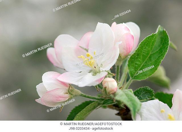 Blossom of a apple tree. Lake Constance region, Baden-Württemberg (Baden-Wuerttemberg), Germany, Europe