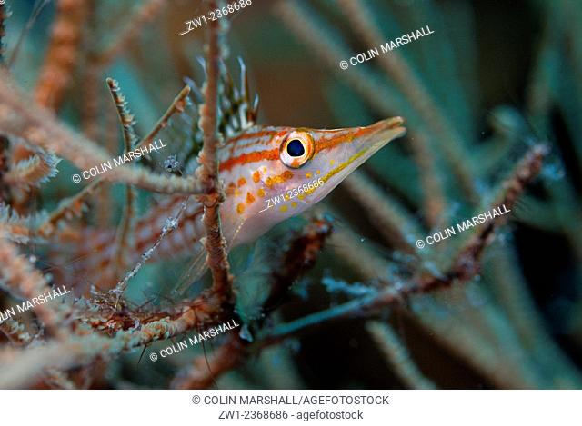 Longnose Hawkfish (Oxycirrhites typus) in coral, Ash Point dive site, Komba Volcano, near Alor, Indonesia
