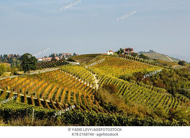Vineyards near Treiso, Langhe, Cuneo district, Piedmont, Italy