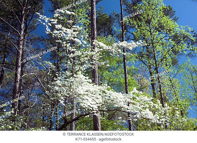White tree blosssoms in a spring forest at the Callaway Gardens in Georgia, USA