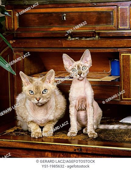 Devon Rex Domestic Cat, Mother with Kitten