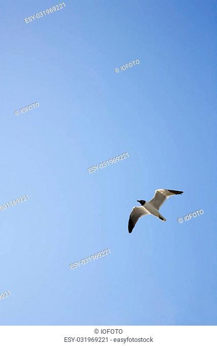 Black-headed Gull in flight on Bald Head Island, North Carolina