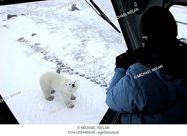 Curious Polar Bear Ursus maritimus inspects the photographer near Churchill, Manitoba, Canada